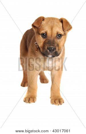 Boxer Mastiff Puppy