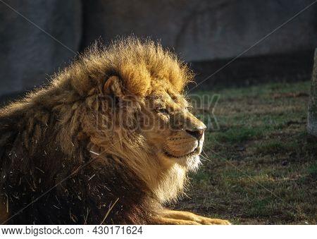 African Lion, Panthera Leo Bleyenberghi, Front Portrait Imposing Feline