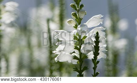 Physostegia. White Flowers Of Bedient Plant Or Obedience Or False Dragonhead, Physostegia Virginiana