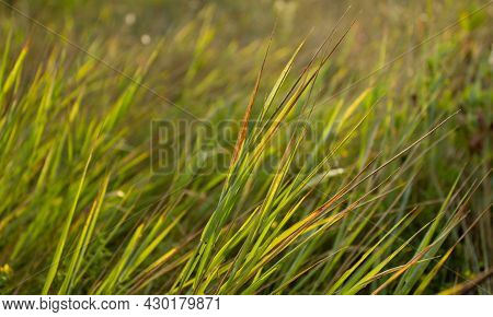 Green Grass On The Wind In The Steppe At Sunset Time. Golden Hour In The Meadow. Green Grass For Sum