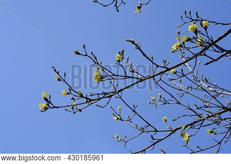 Norway Maple Branches With Flowers And Buds Against Blue Sky - Latin Name - Acer Platanoides