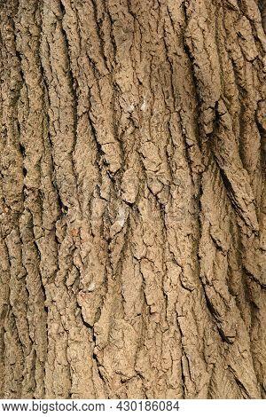 White Poplar Bark Detail - Latin Name - Populus Alba