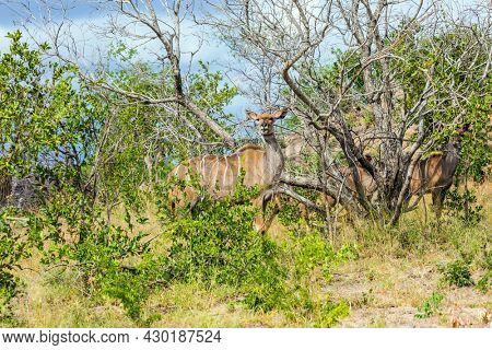 Animals live and move freely in the African savannah. The kudu female grazes among acacia savannah. Kruger Park. South Africa. The concept of active; exotic, ecological and photo tourism