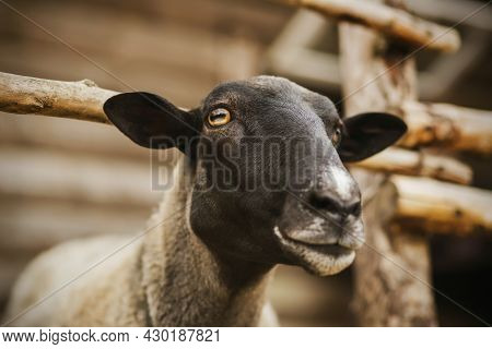 Portrait Of A Beautiful Sheep With Dark Fur On Its Muzzle And Yellow Eyes, Which Stands In A Paddock