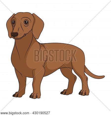 Color Illustration With Brown, Redhead Dachshund Dog. Isolated Vector Object On White Background.