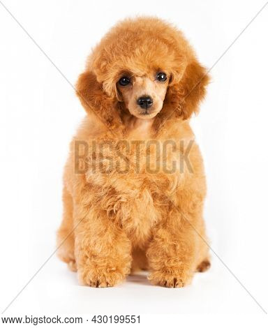 red-haired little toy poodle on a white background
