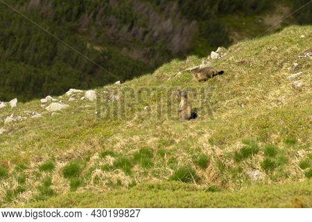 Marmots (marmota Marmota Latirostris) In The Tatra Mountains.