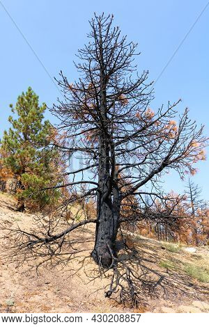 Burnt Pine Tree On A Mountain Ridge Caused From A Past Wildfire During A Prolonged Drought Taken At
