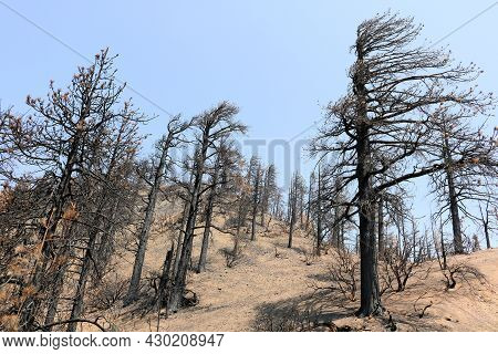 Burnt Pine Trees On A Charcoaled Landscape Caused From A Wildfire Taken At A Parched Alpine Forest I