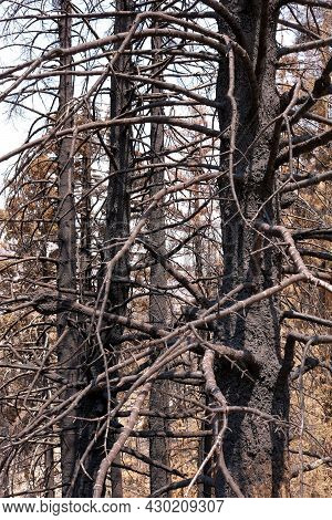 Charcoaled Pine Trees At A Burn Area Caused From A Wildfire Taken On A Decimated Landscape Within A