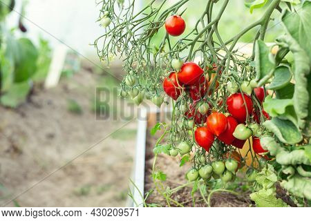 Ripe Red Tomatoes Hanging On Vine In Greenhouse. Growing A Tomato In A Home Greenhouse - Image