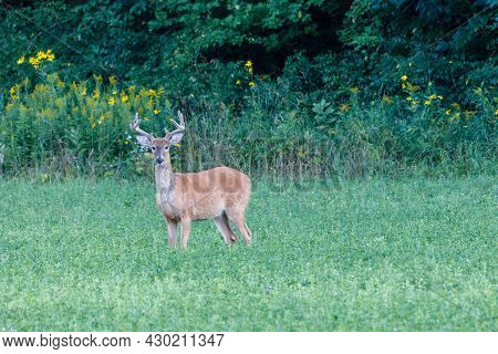 White-tailed Buck (odocoileus Virginianus) In The Process Of Molting With Velvet Antlers During Late