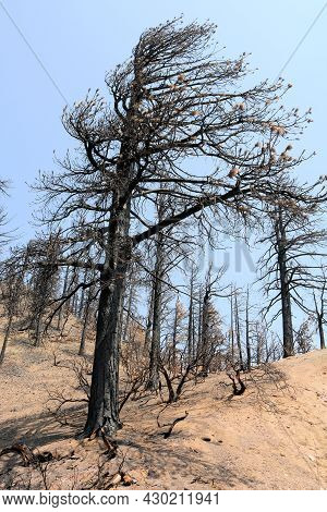 Burnt Pine Tree On A Charcoaled Landscape Caused From A Past Wildfire Taken At A Parched Alpine Fore