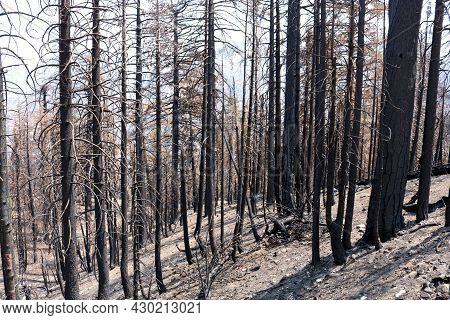 Burnt Pine Trees At A Charcoaled Forest Caused From A Past Wildfire Taken On A Parched Mountain Ridg