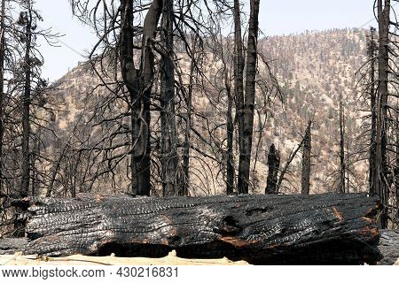 Burnt Pine Trees On A Charcoaled Landscape At A Drought Stricken Forest Taken In The Arid San Gabrie