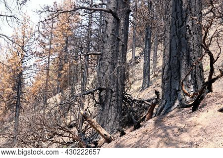 Burnt Trees On A Charcoaled Landscape Caused From A Past Wildfire Taken At An Arid Mountain Slope In