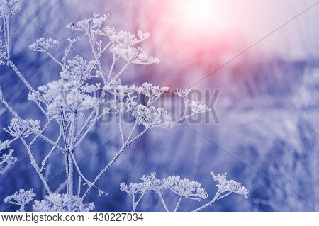 Frost-covered Stalks Of Dry Grass In The Forest In The Morning At Sunrise. Winter Sunrise In The Fog