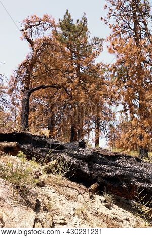 Burnt Pine Trees On A Charcoaled Landscape Caused From A Past Wildfire Taken At A Parched Burn Area