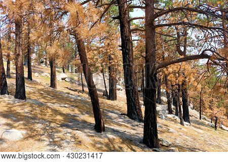 Burnt Pine Trees Caused From A Past Wildfire On A Charcoaled Landscape Taken At A Burn Area In The P
