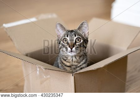 Funny Tabby Cat In A Cardboard Box On The Floor. Parcel With Pet Friend. Grey Kitten With Beautiful