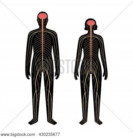 Human Nervous System In Man And Woman Silhouette. Network Of Nerves Cns And Pns Systems Concept. Bra
