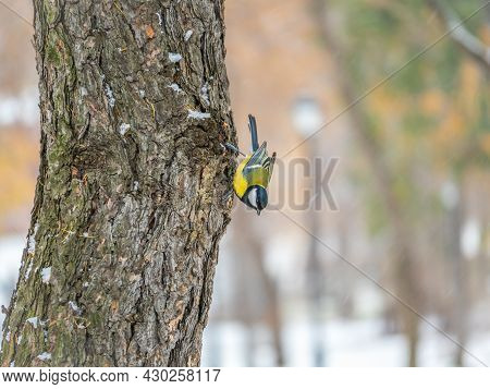 Cute Bird Great Tit, Songbird Sitting On The Nice Branch With Beautiful Autumn Background. Parus Maj