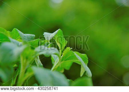 Stevia Rebaudiana On Blurred Background.stevia Plant.alternative Low Calorie Vegetable Sweetener. Sw