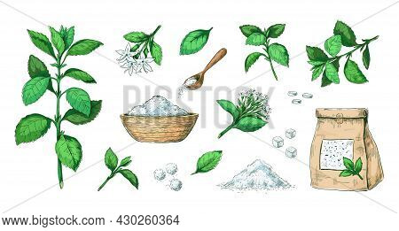 Hand Drawn Stevia. Healthy Sugar Alternative Plant. Natural Leaves Extract. Sweet Pills And Dried St