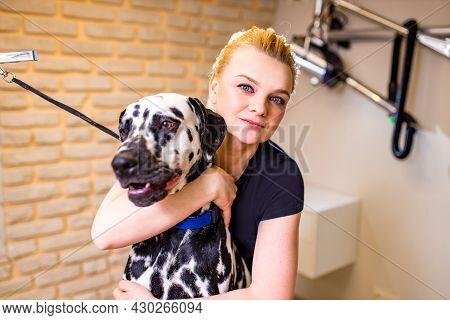 Groomer Combing Wool Of Dalmatian In Spa Salon