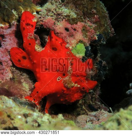 A Painted Frogfish Also Known As Antennarius Pictus Cebu Philippines
