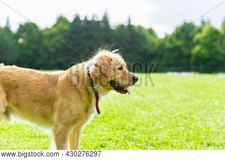 Portrait Golden Retriever Dog On Green Grass Near Forest On A Summer Day.labrador Retriever Portrait