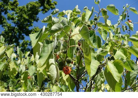 Green And Orange Fruits Clusters In The Leafage Of Paper Mulberry In Mid August