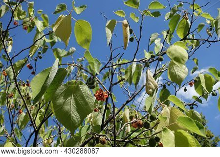 Spherical Fruit Clusters In The Leafage Of Paper Mulberry Against Blue Sky In Mid August