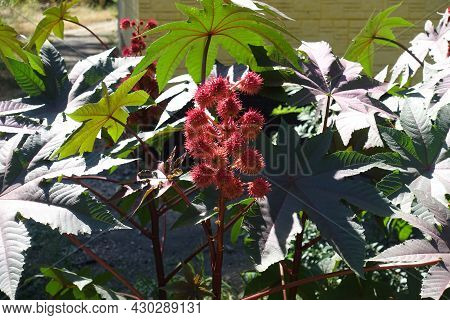 Panicle Of Spiny Seed Capsules Of Castor Oil Plant In Mid September