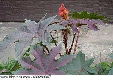 Purplish Green Leaves Of Castor Oil Plant In Mid August