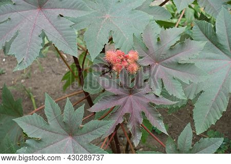 Spiny Capsules Of Seeds Of Castor Oil Plant In Mid August