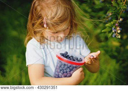 Little Preschool Girl Picking Fresh Berries On Blueberry Field. Toddler Child Pick Blue Berry On Org