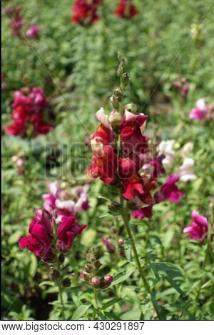 Flowers Of Common Snapdragon In Shades Of Red In June