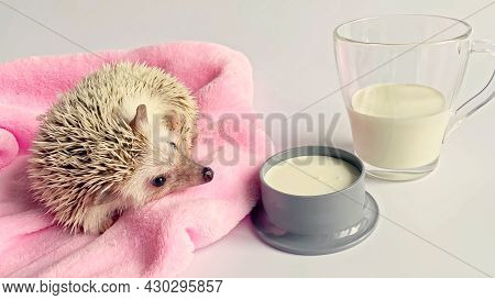 Little Hedgehog Sniffing Milk In Bowl, Glass With Milk On White Background
