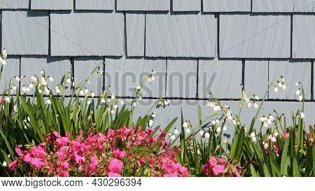 Diascia And Snowflake Flowers, California Usa. Snowbell Dewdrop Tender Bloom. Home Gardening, Americ
