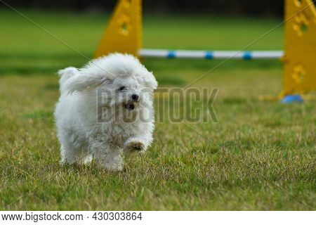 Dog Is Running In Agility.  Amazing Evening, Hurdle Having Private Agility Training For A Sports Com