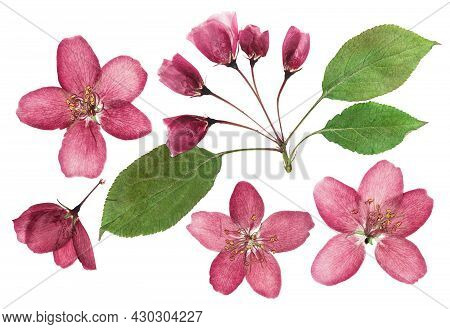 Pressed And Dried White Delicate Transparent Flower Apple Tree, Isolated On White Background. For Us
