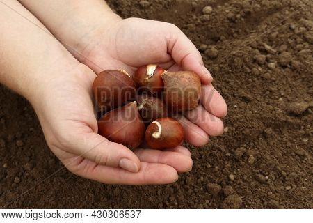 The Gardener's Female Hands Hold Tulip Bulbs Against. The Concept Of Spring Planting Of Flowers In T