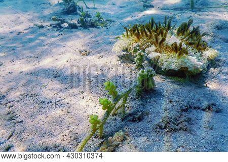 Upside Down Jellyfish (cassiopea Andromeda), Marine Life