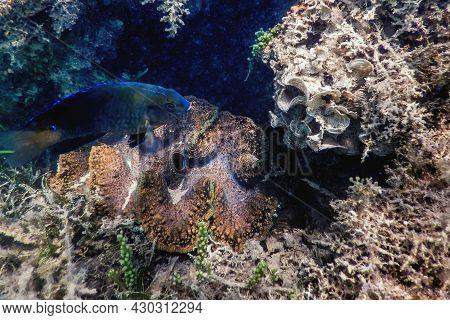 Maxima Clam (tridacna Maxima) Underwater