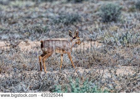 A Steenbok On A Farm Near Beaufort West In The Western Cape Karoo