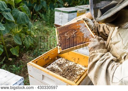 Work In The Apiary. Beekeeper Taking Out A Wooden Honeycomb Frame From A Hive To Collect Honey - Bee