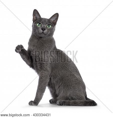 Young Silver Tipped Korat Cat, Sitting Up Side Ways. Looking Towards Camera With Bright Green Eyes.