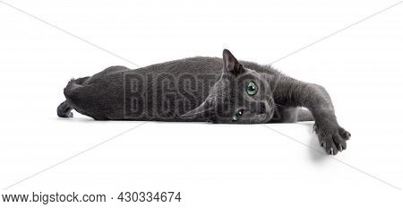 Young Silver Tipped Korat Cat, Laying Down  In A Funny Pose. Looking Towards Camera With Bright Gree