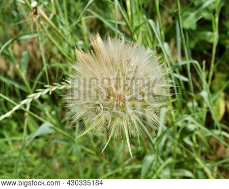 Beautiful Fluffy Blooming Flower Dandelion On Colored Background